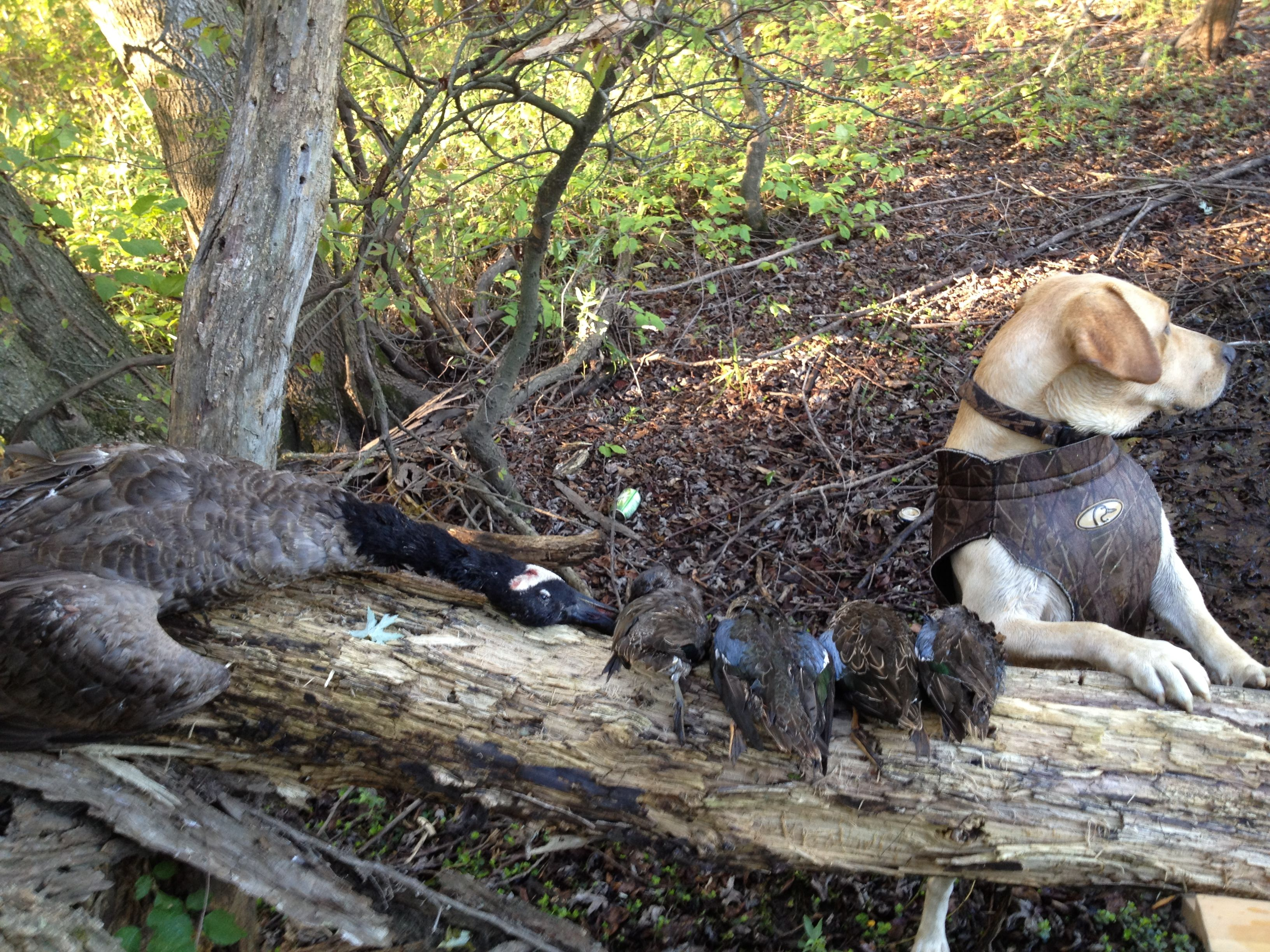 My dog Boone and the 4 teal and goose he retrieved on our second duck hunt of the year