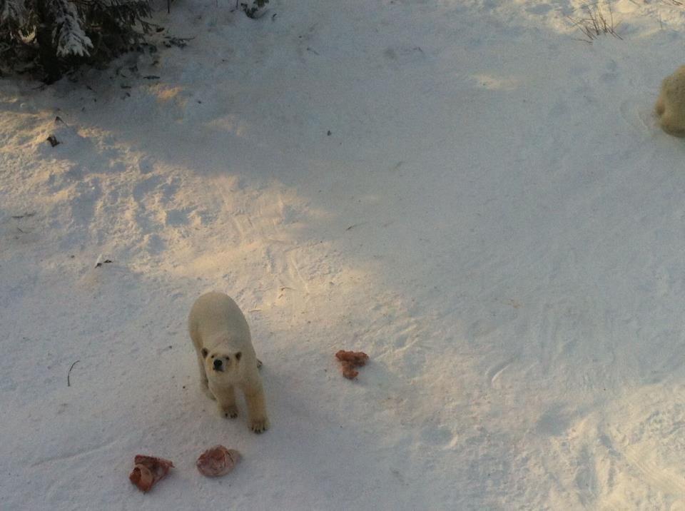Sesi from today's feeding!   Isbjörnen Sesi från dagens matning.