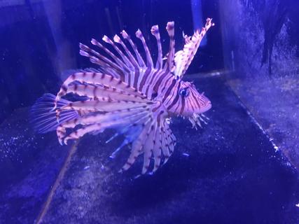 Red Volitan Lionfish Pterois Volitans Xl Size Lion Fish Saltwater Aquarium Fish Saltwater