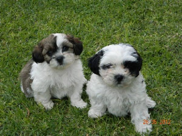 Black And White Maltese Puppies For Sale Zoe Fans Blog Maltese