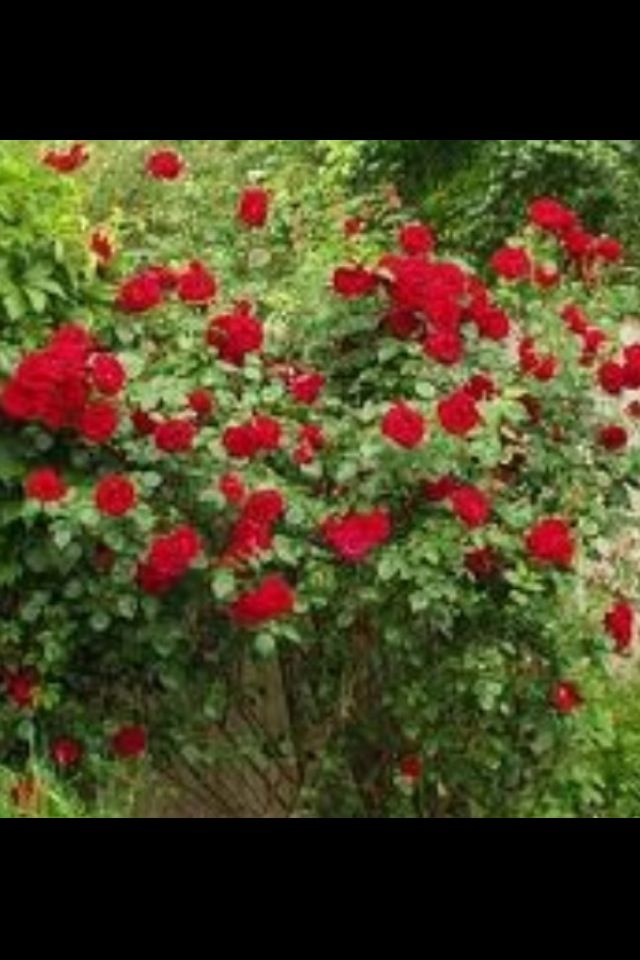 Prune Roses In The Fall Spring Recipe Pretty Plants Pruning Roses Red Roses