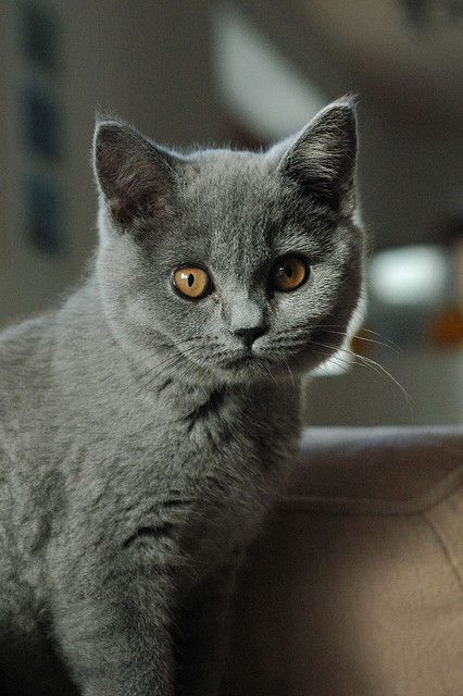 The Lady Is Sitting For Her Portrait British Shorthair Cats