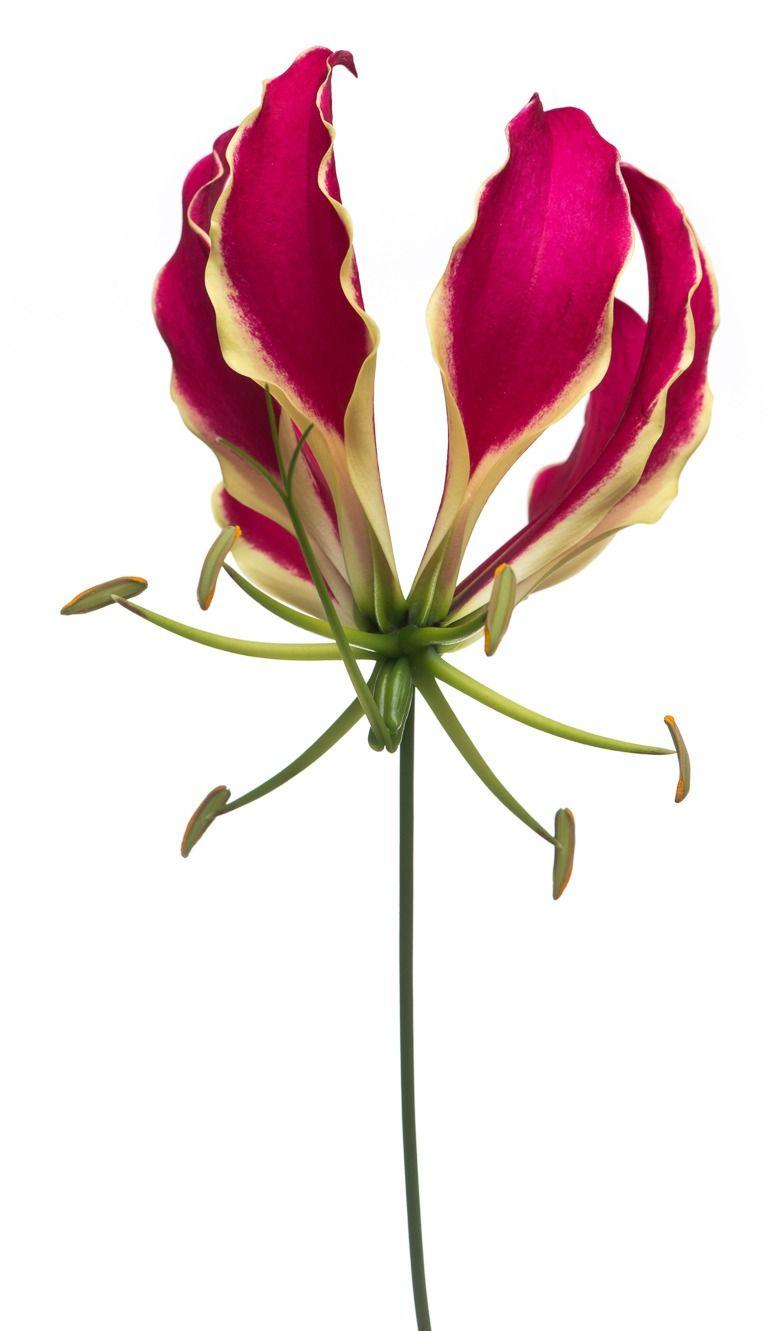 Gloriosa Glory Lily Colors Red Orange Yellow Season Year