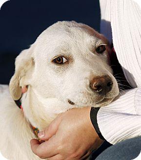 ADOPTED   04/23/15-Tulsa, OK - Great Pyrenees/Labrador Retriever Mix. Meet Potato, a dog for adoption. http://www.adoptapet.com/pet/12404839-tulsa-oklahoma-great-pyrenees-mix