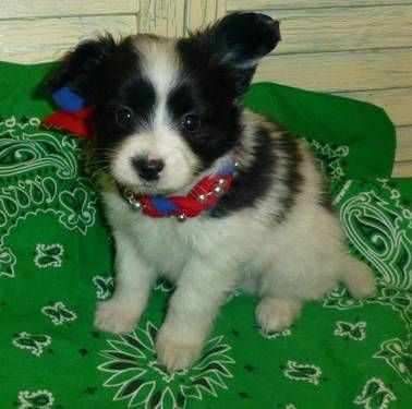 Papillon Akc Male Puppy Black White New Pics As Of 03 04 13 Papillon Puppies For Sale Papillon Dog Papillon Puppy