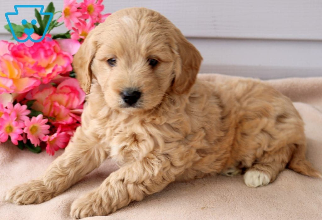 Milly Goldendoodle Miniature Puppy For Sale Keystone Puppies Goldendoodle Miniature Miniature Puppies Goldendoodle
