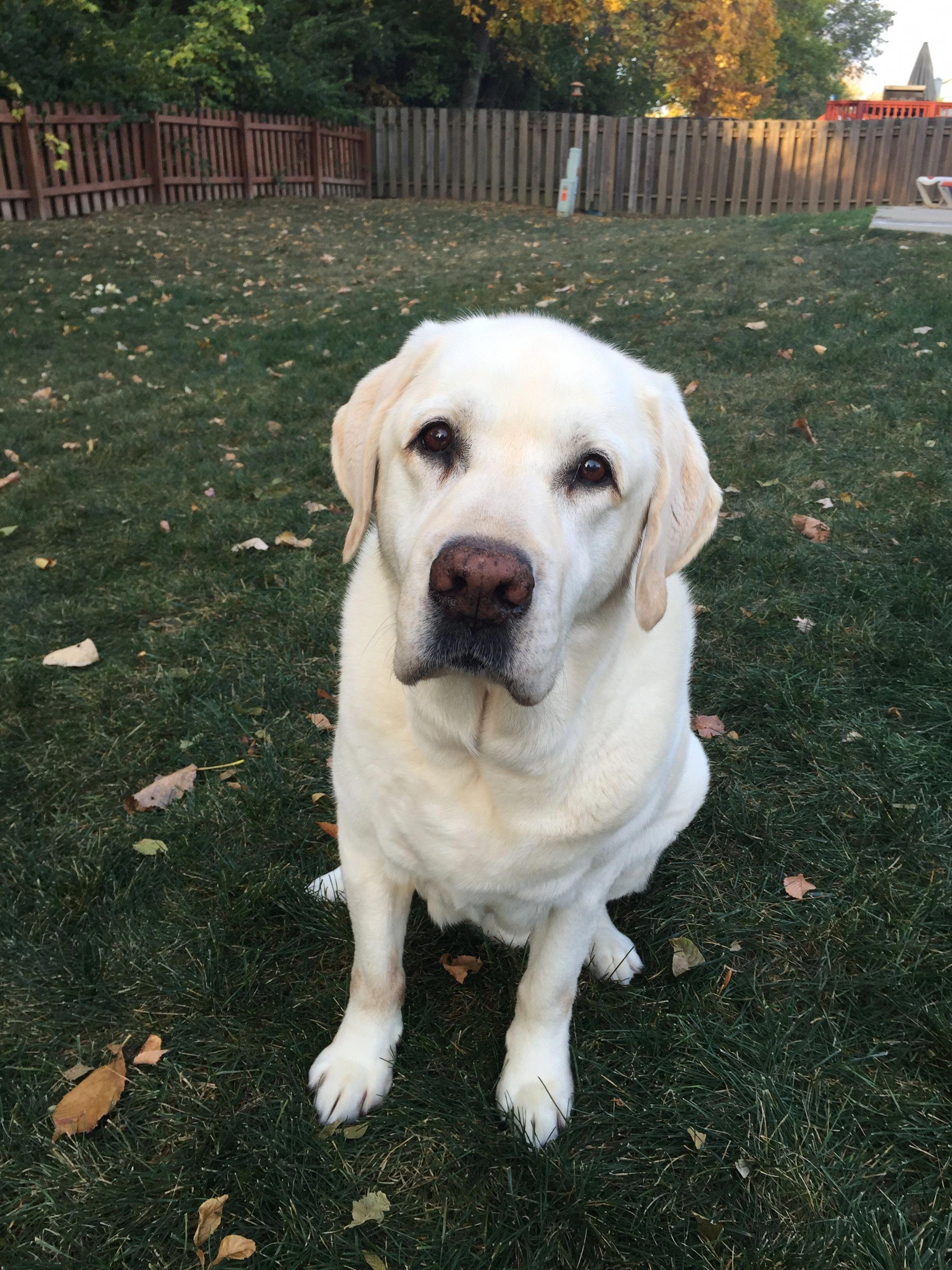 Bailey Englishlabrador Lab Dogs Labrador Retriever Labrador Dog
