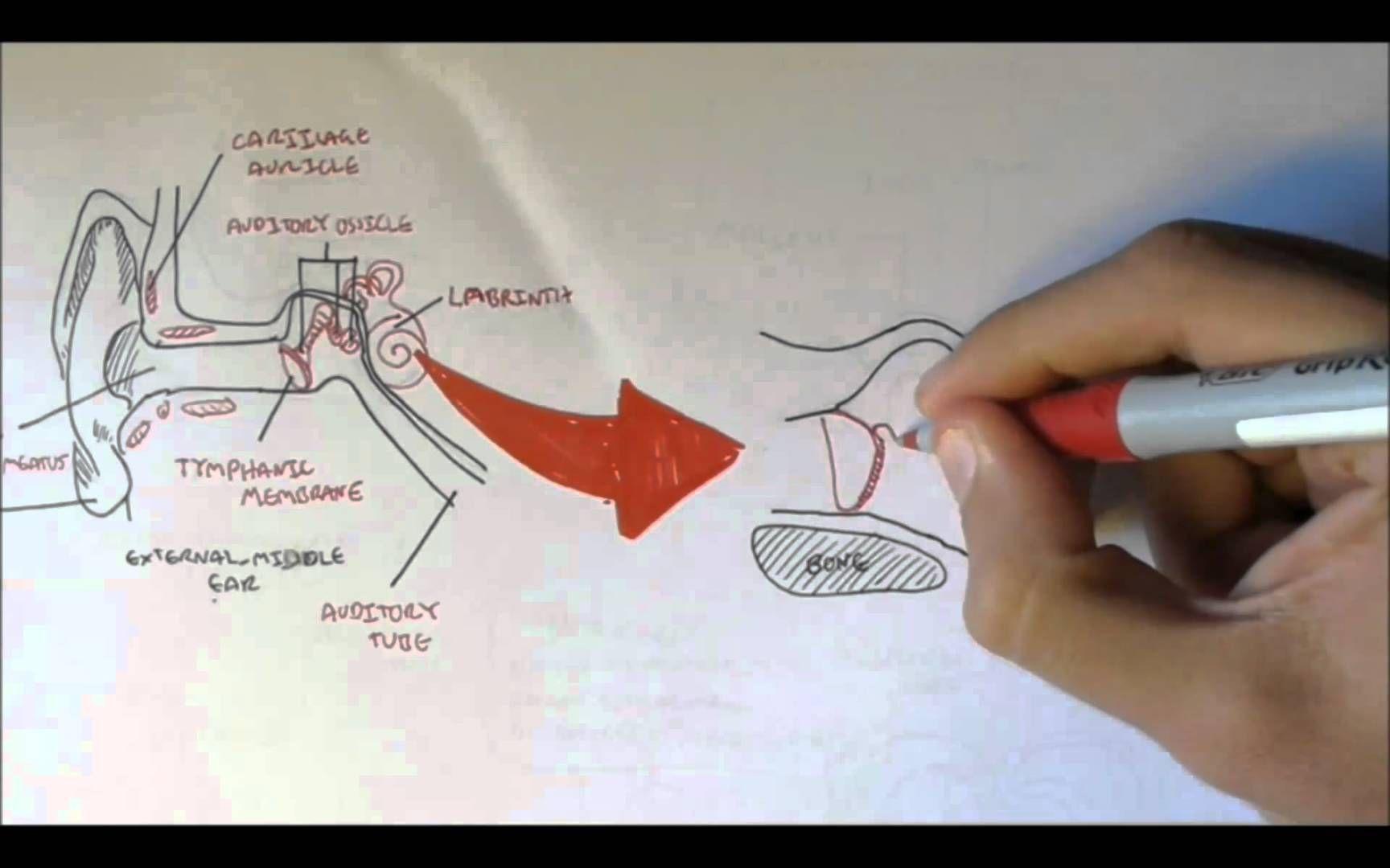 Ear Anatomy S Youtube Watch V Sv7n Hefbfa