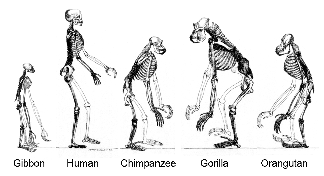 gorillas and humans | evolution and human evolution, Skeleton