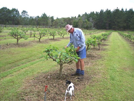 fig management - great tips from a commercial grower