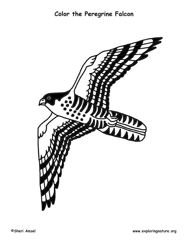 32 Peregrine Falcon Coloring Page In 2020 Bird Coloring Pages
