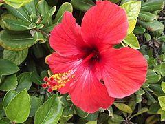Hibiscus Hibiscus Hibiscus Flowers Trees To Plant