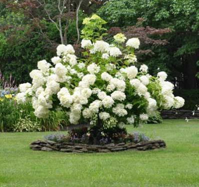 Snowball Viburnum Bush Gardening Garden Shrubs