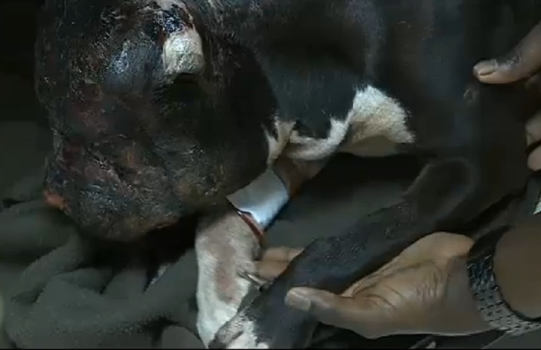 Dog burned by scalding him with oil while family was in church. I have a feeling it was a neighbor. Who carries scalding grease with them? Lesson for owner! DO NOT LEAVE YOUR DOG OUTSIDE WHEN YOU GO OUT!!! To the neighbor, there is a God, and you will burn in hell.