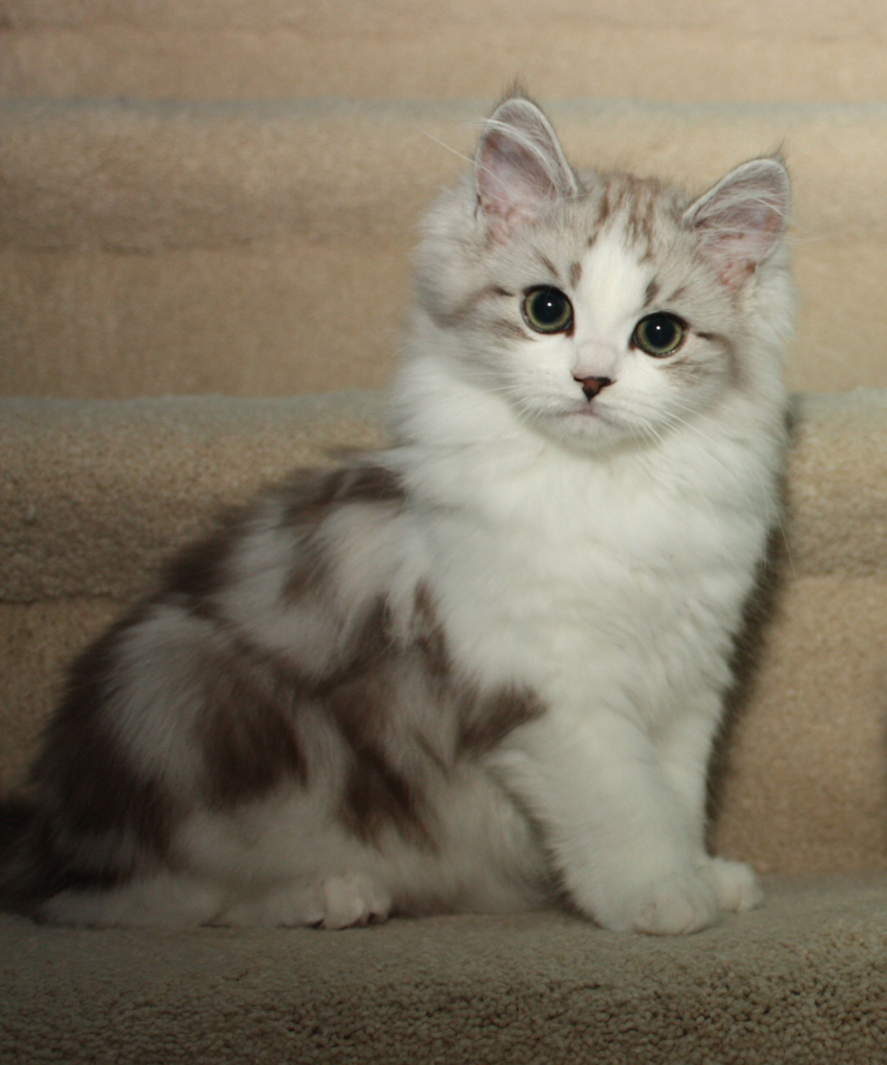Ragamuffin Kittens Ragamuffin Kittens Ragamuffin Cat Kittens Cutest