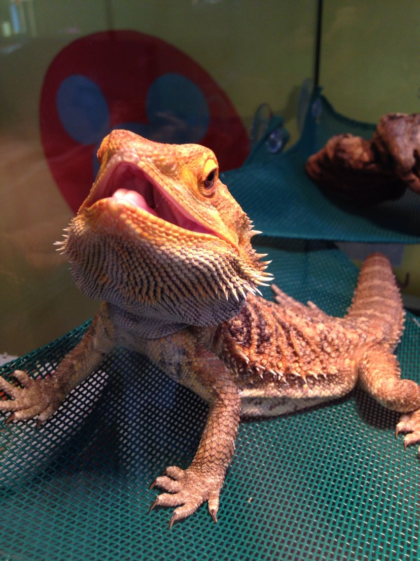 My bearded dragon spike knows how to smile bearded dragons