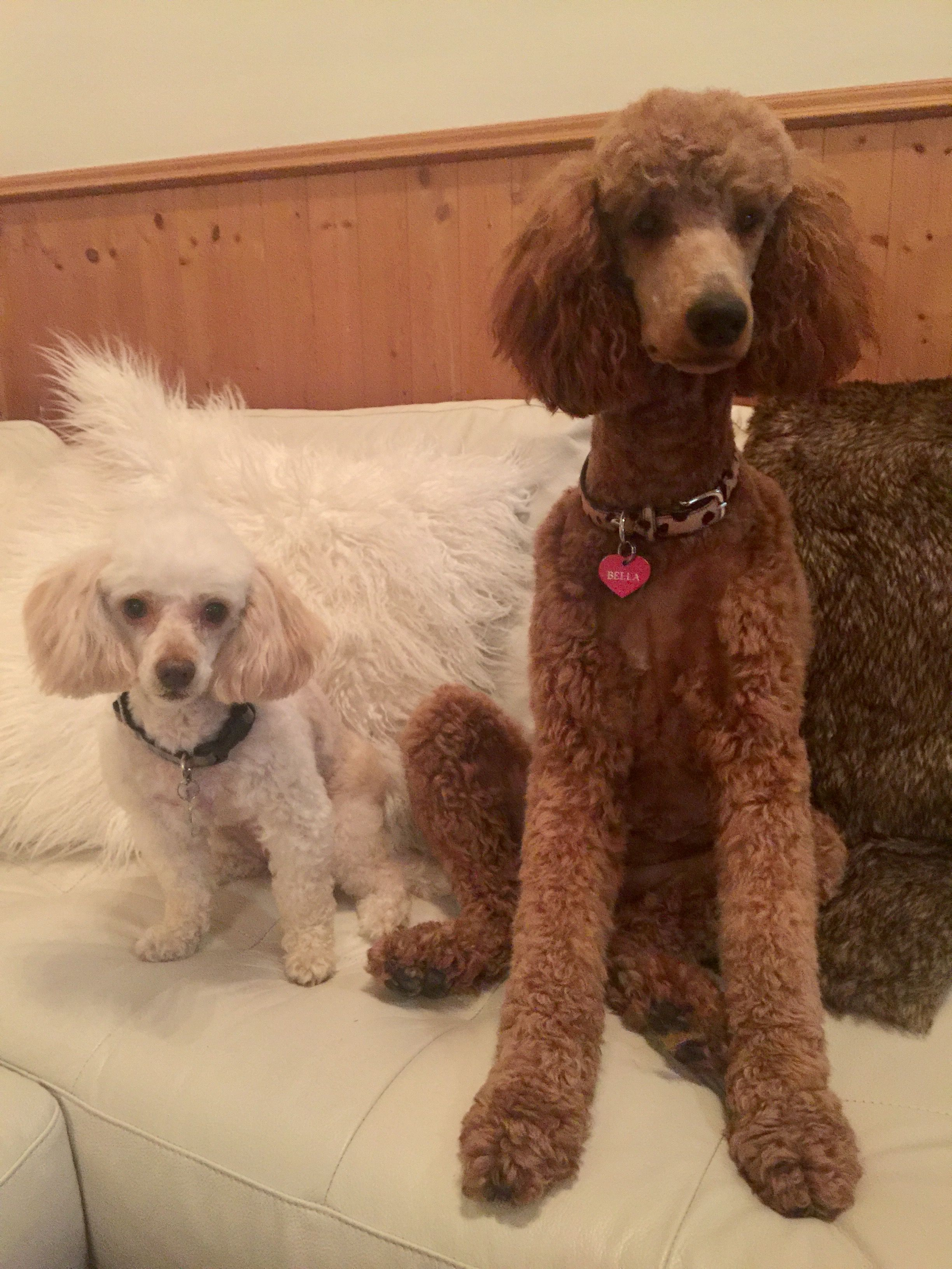 Standard Poodle Bella Miniature Poodle X Baby Oct 2016 With