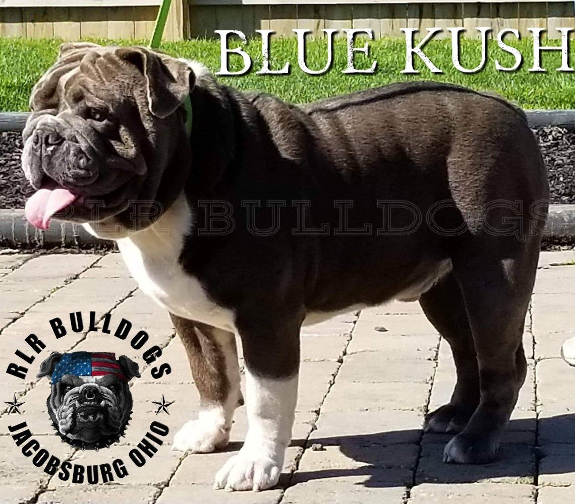 If You Want To Produce Blue Pups You Need Blue Kush Open
