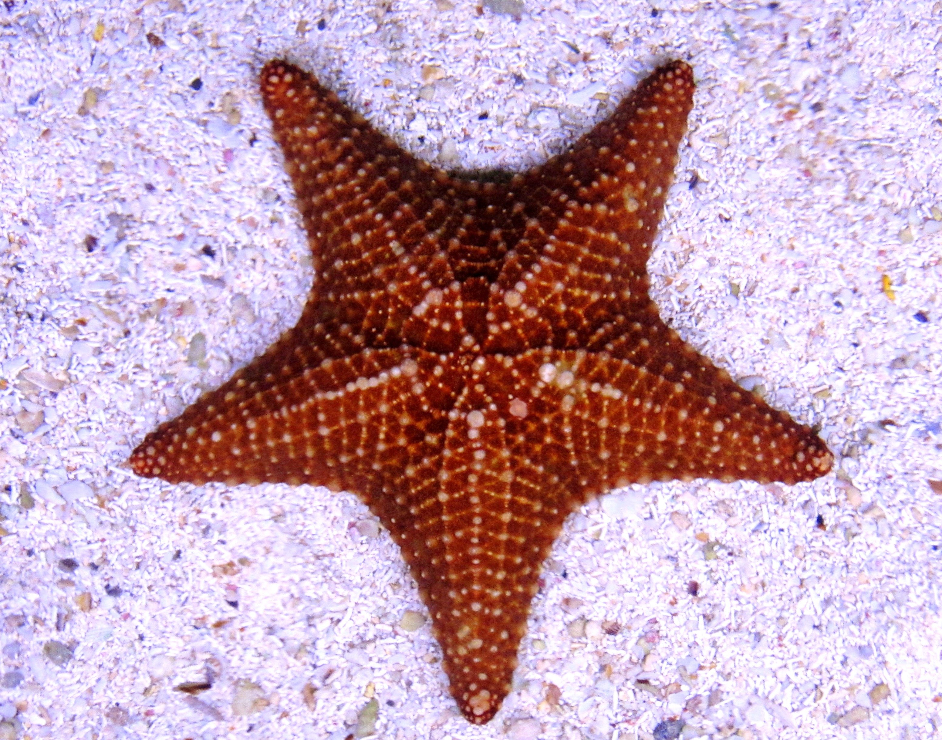 Estrella de mar | Starfish... | Pinterest | Starfish