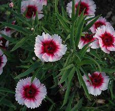 """DIANTHUS - DIANA - WHITE with PURPLE CENTER - 6 PLANTS - 1.5"""" POTS"""