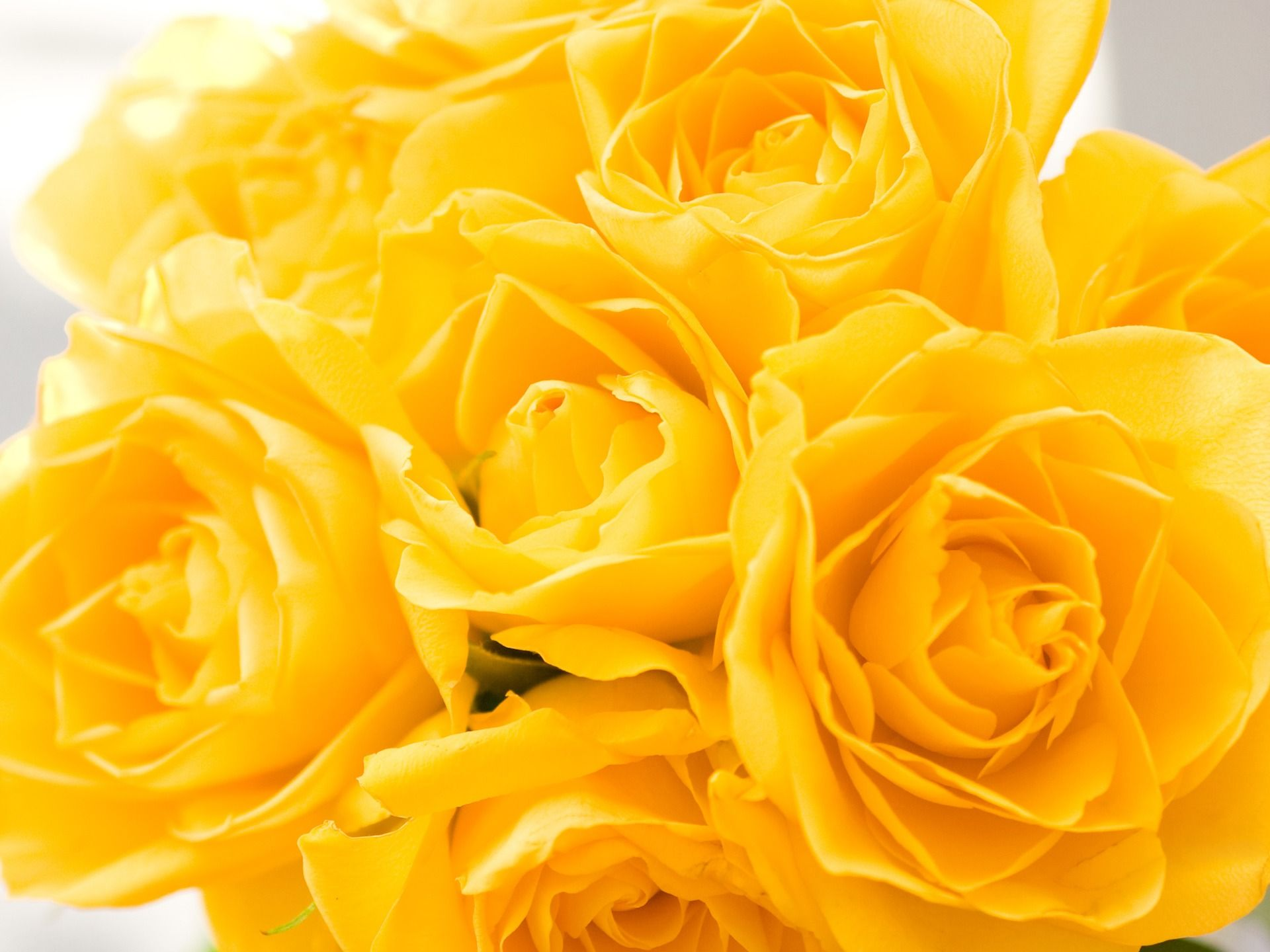 Image Detail For Yellow Roses 1920 X 1440 Wallpaper Ewallpapers