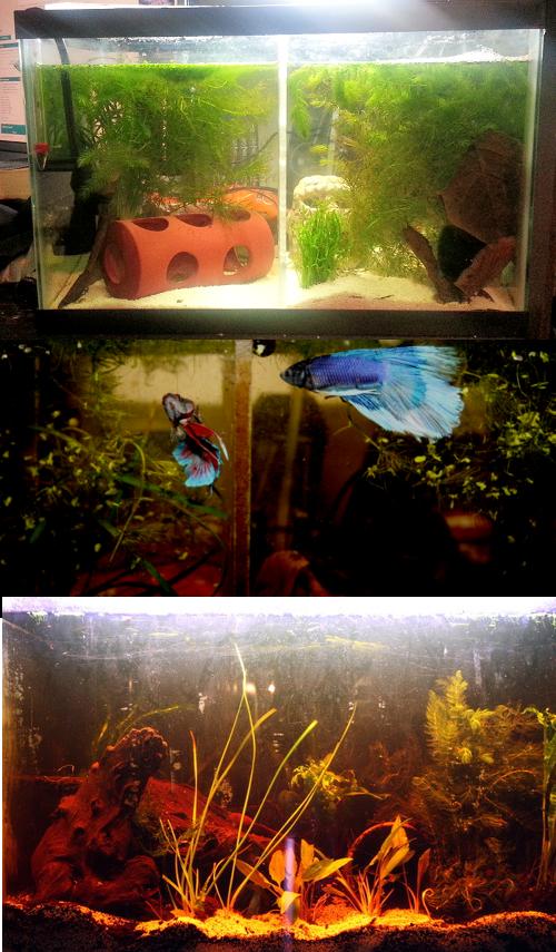 Betta than a Bowl: betta fish aquariums & betta tank inspiration ...