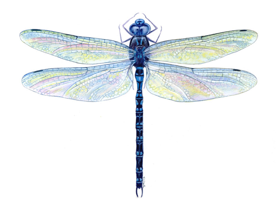 Dragonflies Photo Dragonfly 12 Png Watercolor Dragonfly Dragonfly Drawing Dragonfly Tattoo