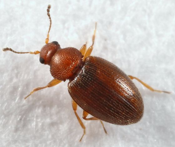 Tiny Brown Beetle Corticarina Beetle Insect Beetle Brown