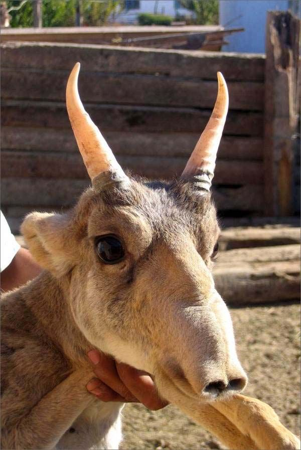 15. The Saiga Antelope: The Saiga Antelope is known for its extremely unusual, over-sized, flexible nose structure. They are critically enda...