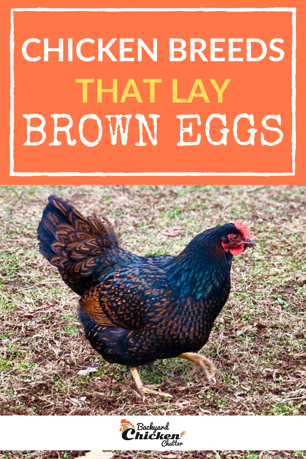 Chicken Breeds That Only Lay Brown Eggs Chicken Breeds Chickens Backyard Breeds Backyard Chickens Eggs