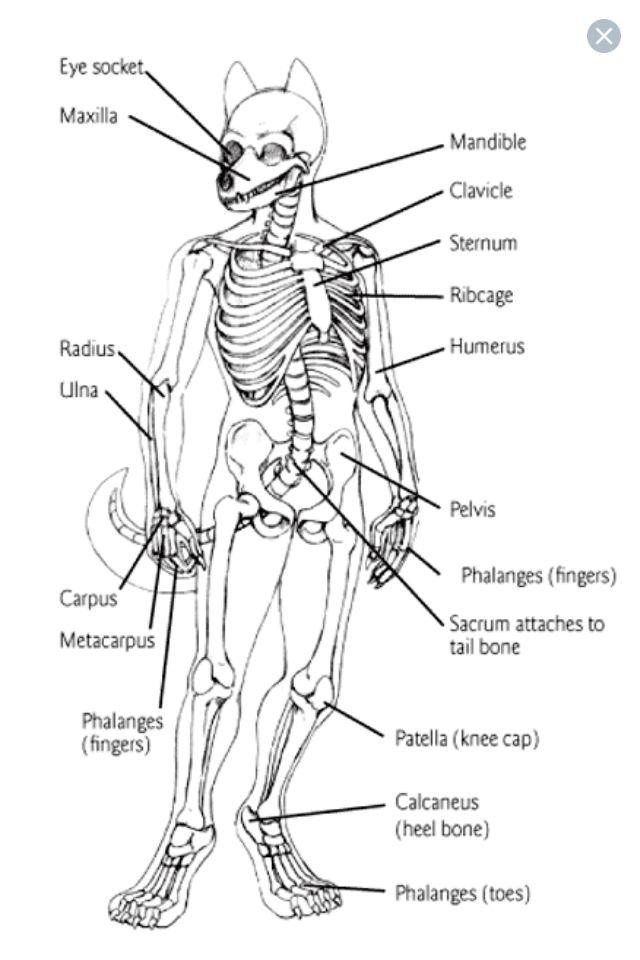 Furry Anatomy Furryanthro Tutorials Pinterest Anatomy