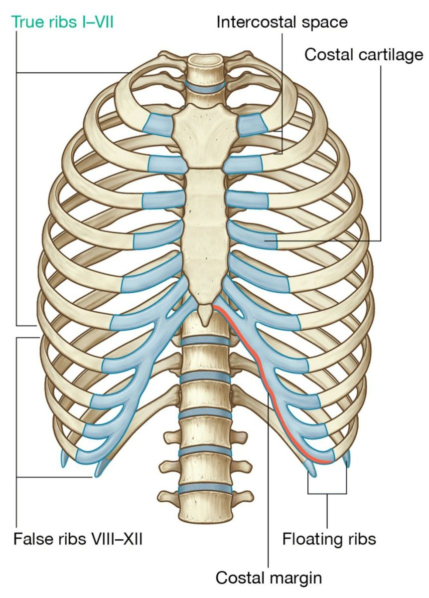 Osteology of the thorax | Anatomy and Physiology | Pinterest