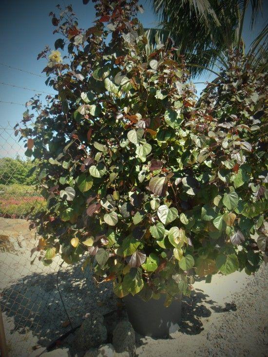 Tilapariti Tiliaceum Rubrum Common Name Cottonwood Hibiscus A