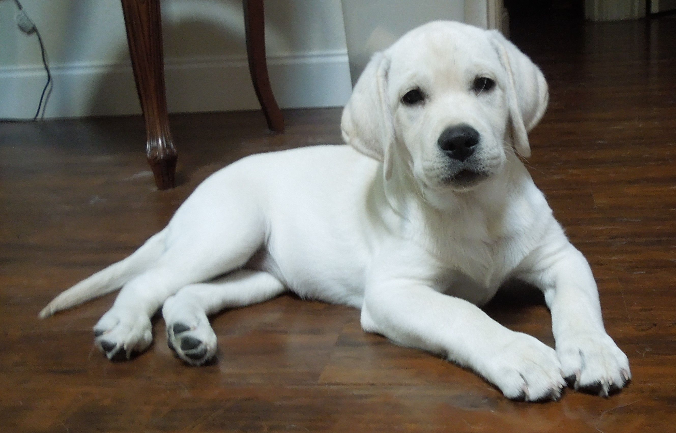White lab puppies for sale near me