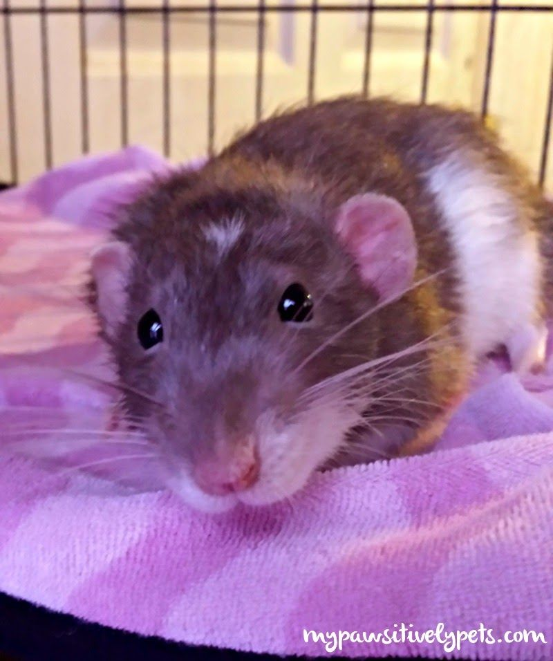 What Kind of Foods Do Pet Rats Like to Eat? | Rats & Mice | Pet rats