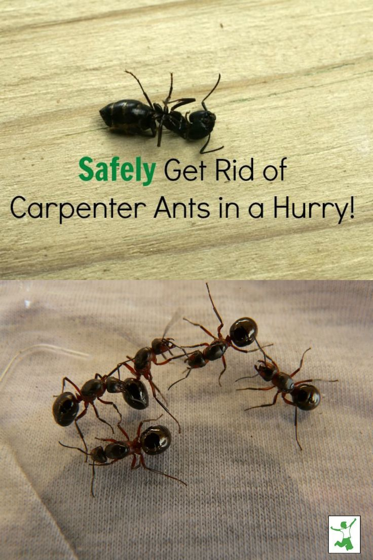 Safely Get Rid Of Carpenter Ants In A Snap