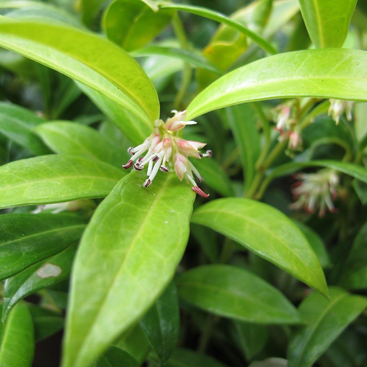 Sarcococca hookeriana humilis Arbuste nain à fleurs