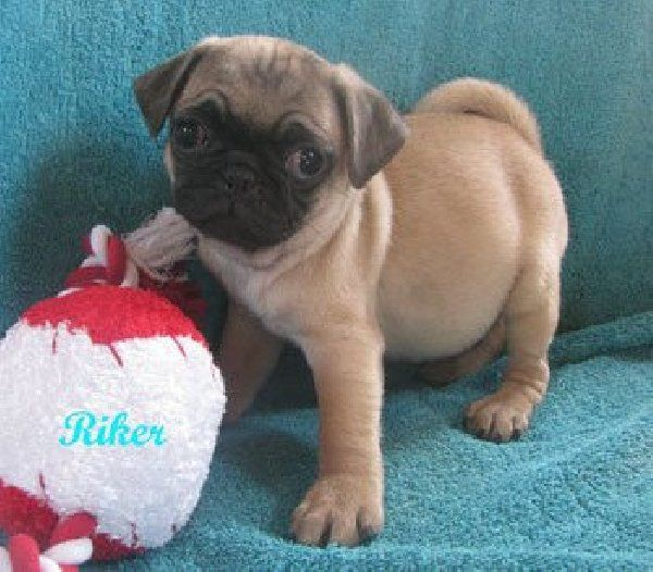 Pug Puppies For Sale In Arkansas Zoe Fans Blog Pug Puppies