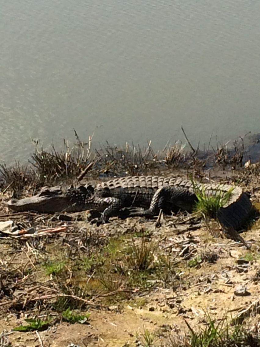Gator near where I work
