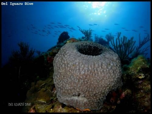 Cuba is where you can find, besides the already numerous marine animals and coral, these beautiful vase like coral formations.