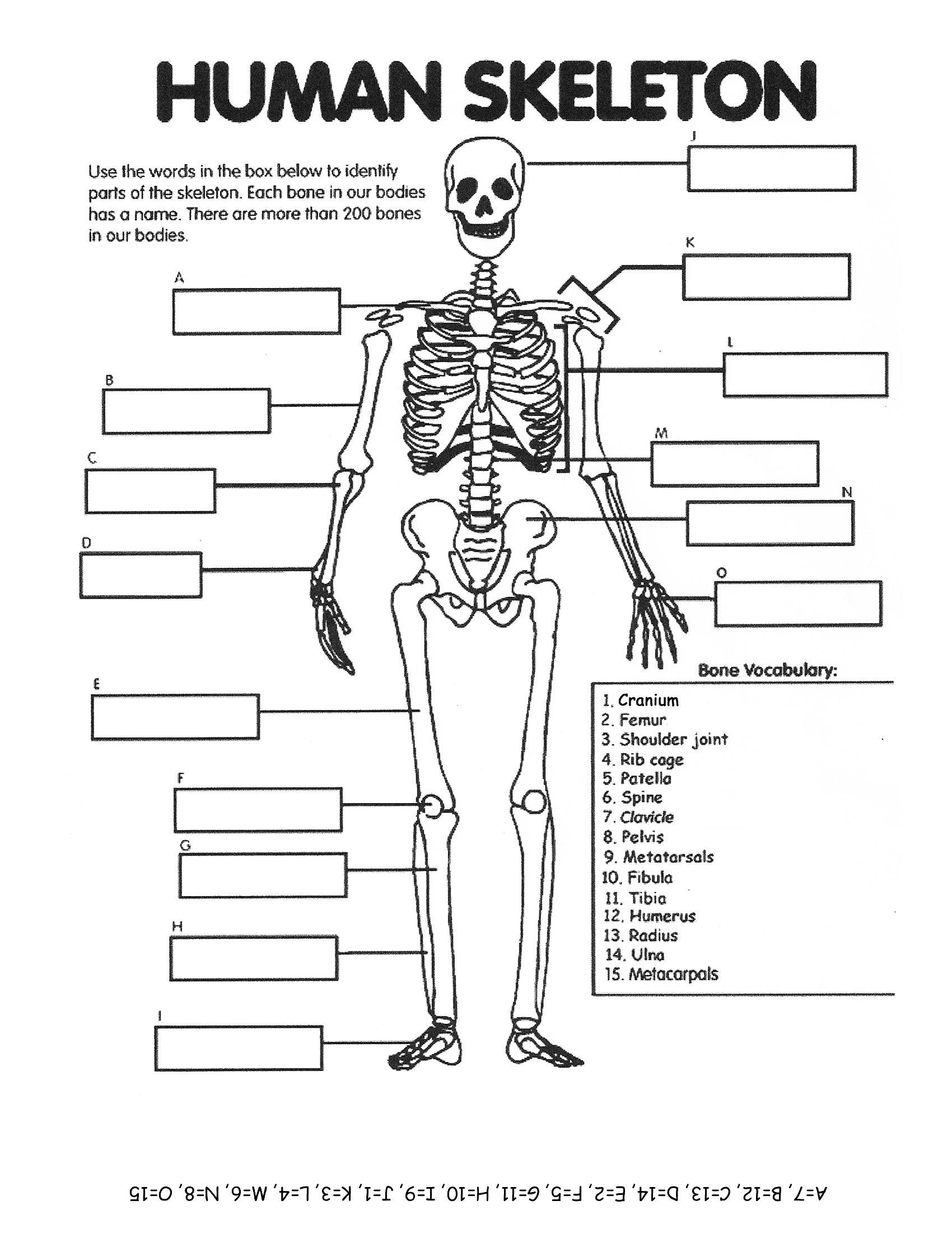 No Link Human Skeleton Elementary Worksheet Human Body Systems Human Body Unit Human Body