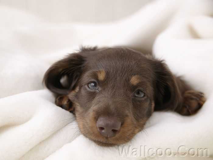 Shorthaired Miniature Dachshund Puppies Short Haired