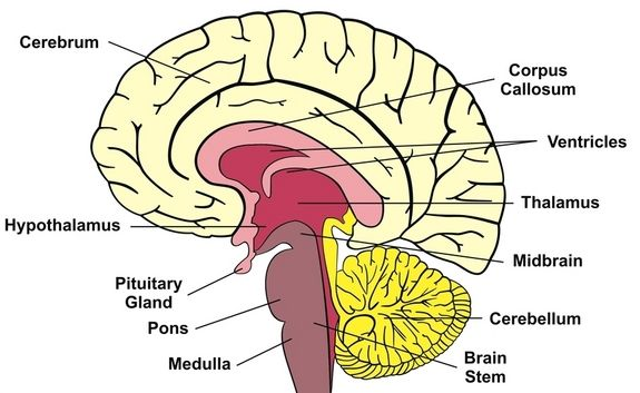 A diagram of a cross-section of the human brain  | Biology