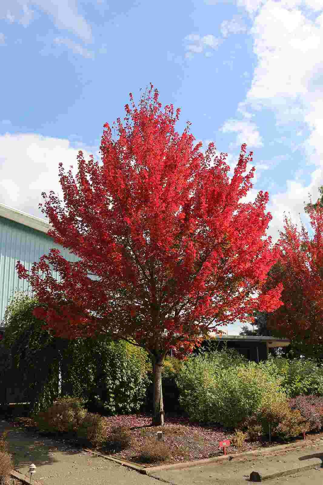Roter Ahorn Schnellwachsende Bäume für Sichtschutz   Roter ahorn ...