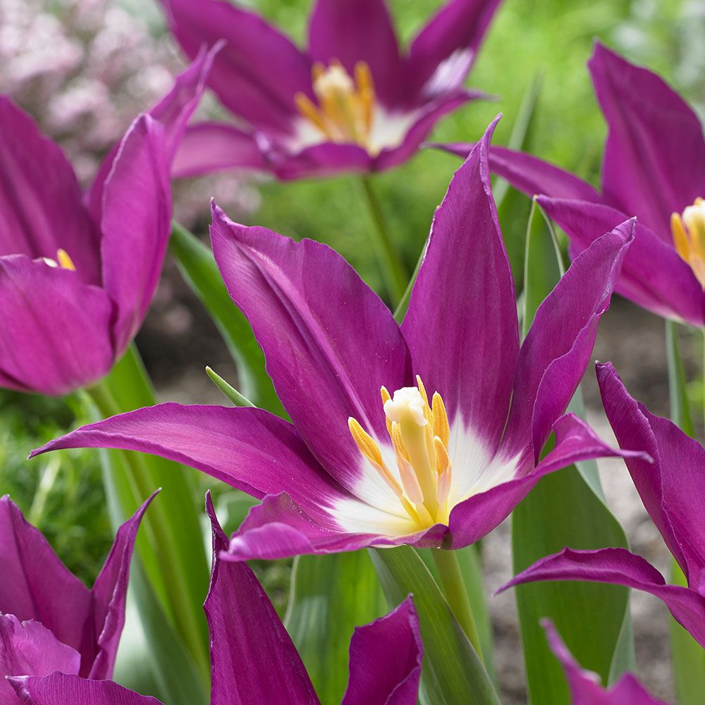 Tulip 'Purple Dream' White flower farm, Tulips, Garden bulbs