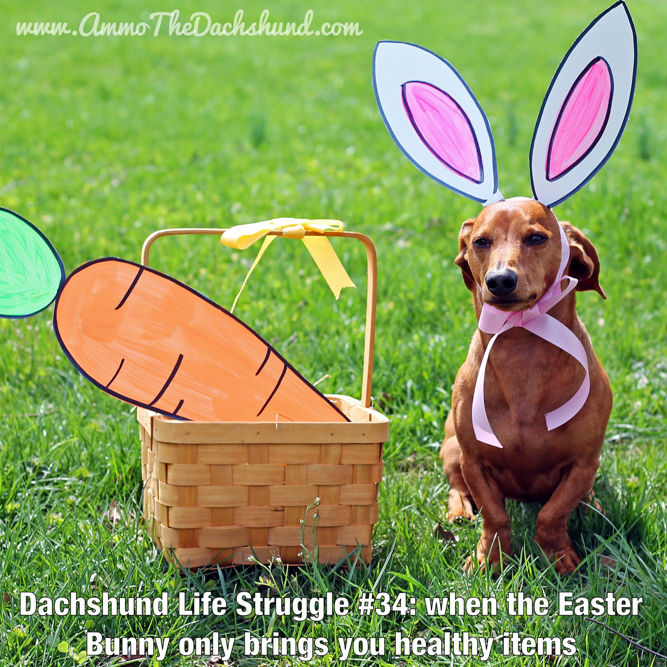 Dachshund Life Struggle // The Struggle is Real // Ammo the ...
