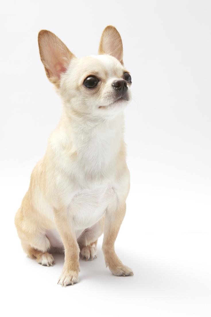 900 Chihuahua Ideas Chihuahua Chihuahua Puppies Chihuahua Dogs