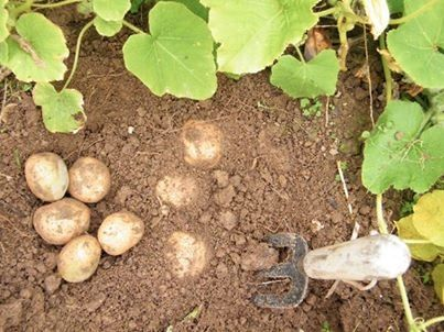 Ever think of having a potato garden? It's easy. Check out these helpful tips on how to plant them. barnonecountrystore.com