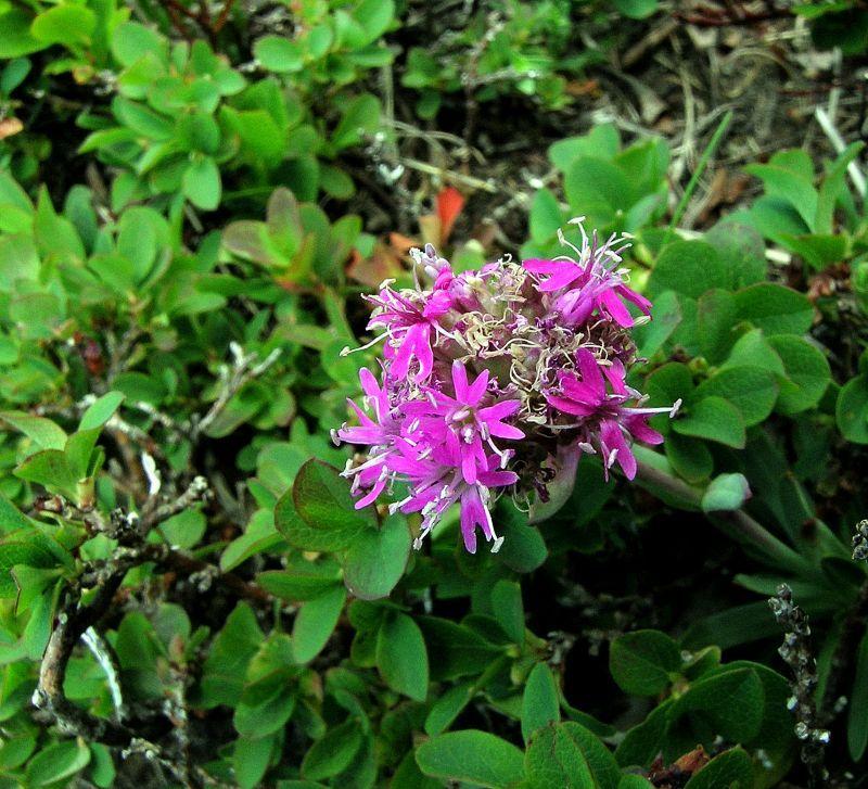 Viscaria alpina (Lychnis alpina) Diffusa nelle regioni