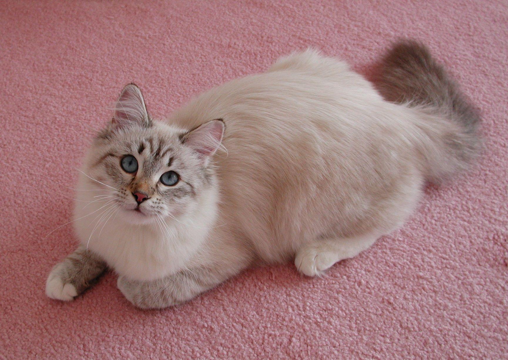 Lynx point siberian cat cute Pinterest